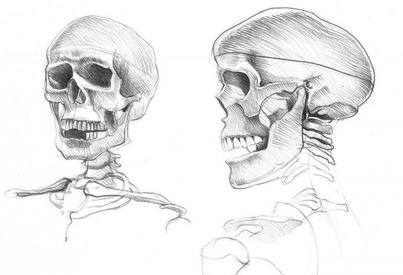 Etude_du_crâne - Copie