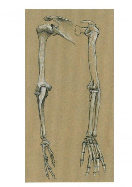 Squelette_Bras_01 - Copie
