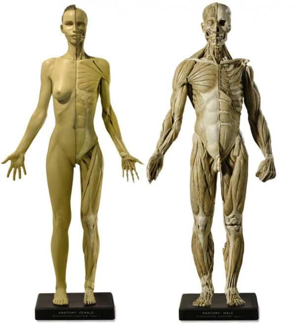 livre morphologie anatomie artistique